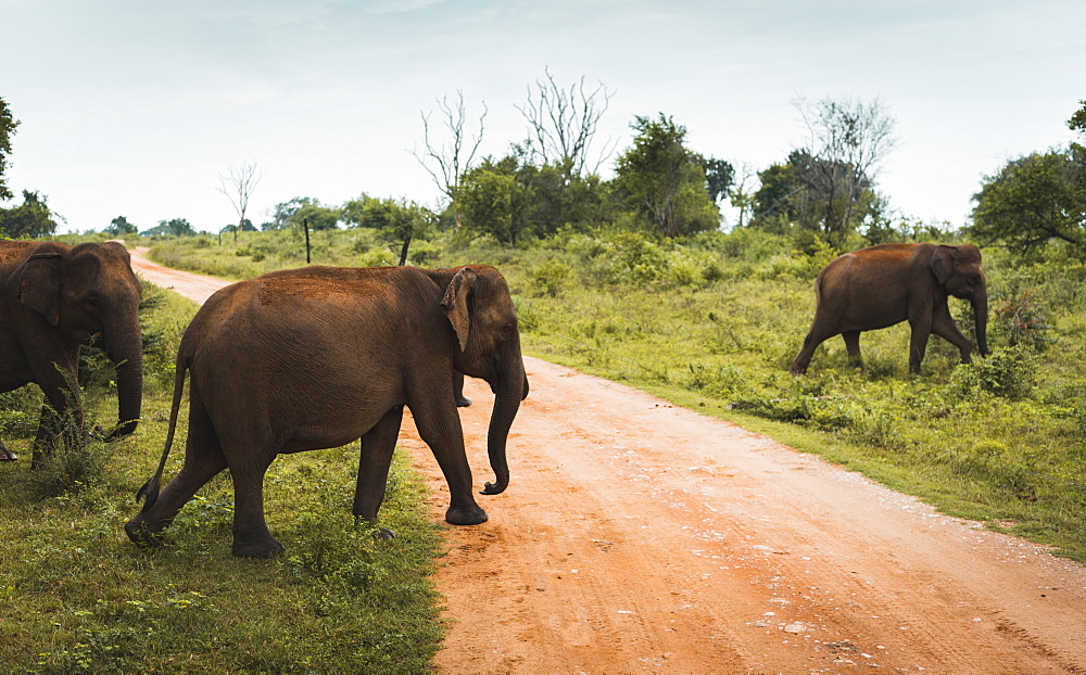 A family of elephants cross the track in Udawalawe National Park, Sri Lanka, Asia