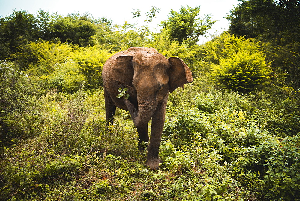An elephant shakes leaves free of dirt, Udawalawe National Park, Sri Lanka, Asia