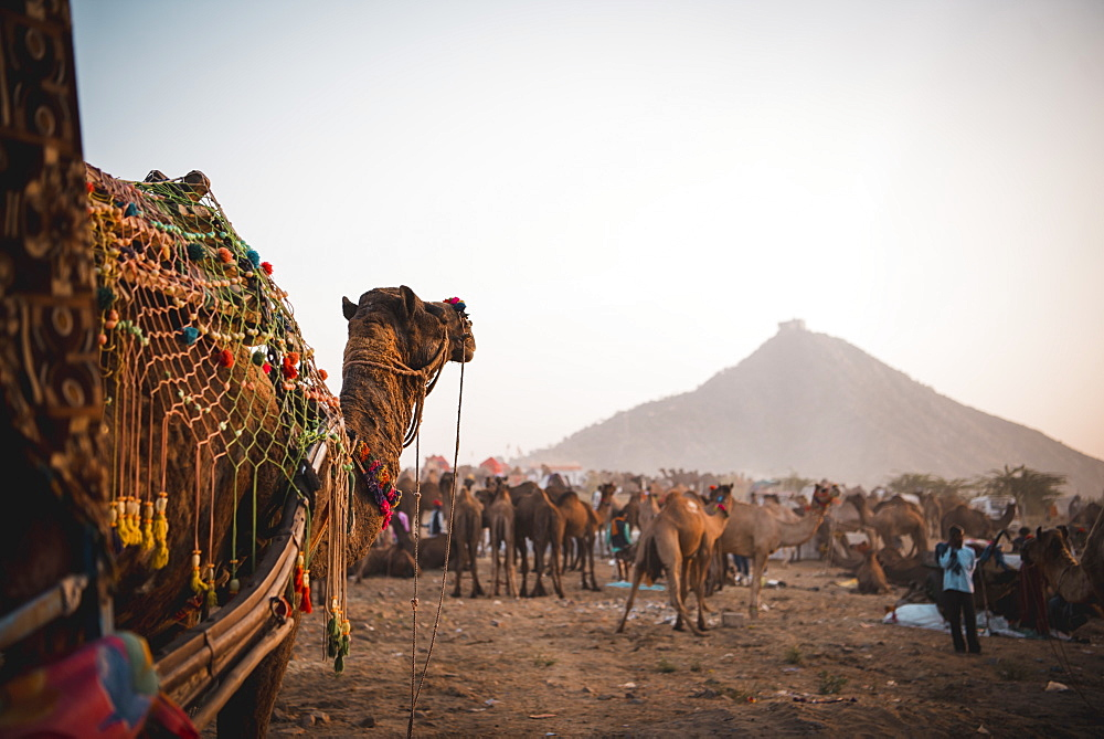 A Camel watches over all the other camels at Pushkar Camel Fair 2018, Pushkar, Rajasthan, India, Asia
