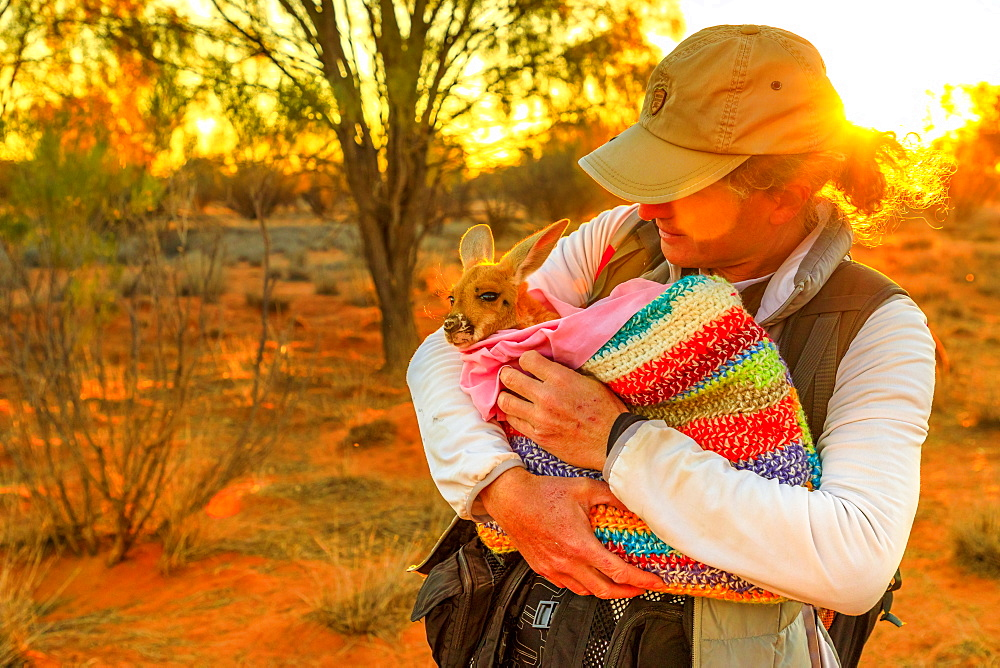 Tourist man holding orphaned baby kangaroo at sunset in Australian Outback, Red Center, Northern Territory, Australia, Pacific