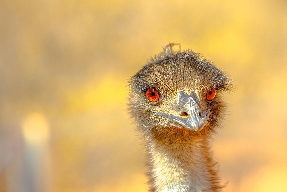 Front view of details of Emu (Dromaius novaehollandiae), a bird that features prominently in Indigenous Australian mythology, Northern Territory, Australia, Pacific - 1314-183
