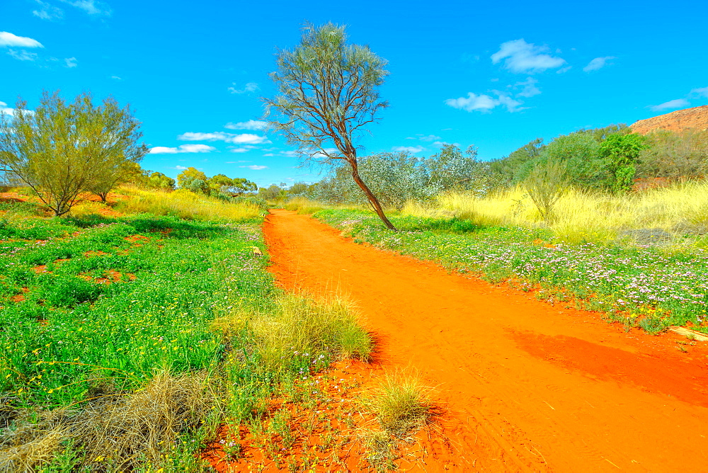 Dry river bed with red sand in Desert Park at Alice Springs near MacDonnell Ranges in Northern Territory, Central Australia. Vivid colors contrast with the blue winter sky. Dry season.