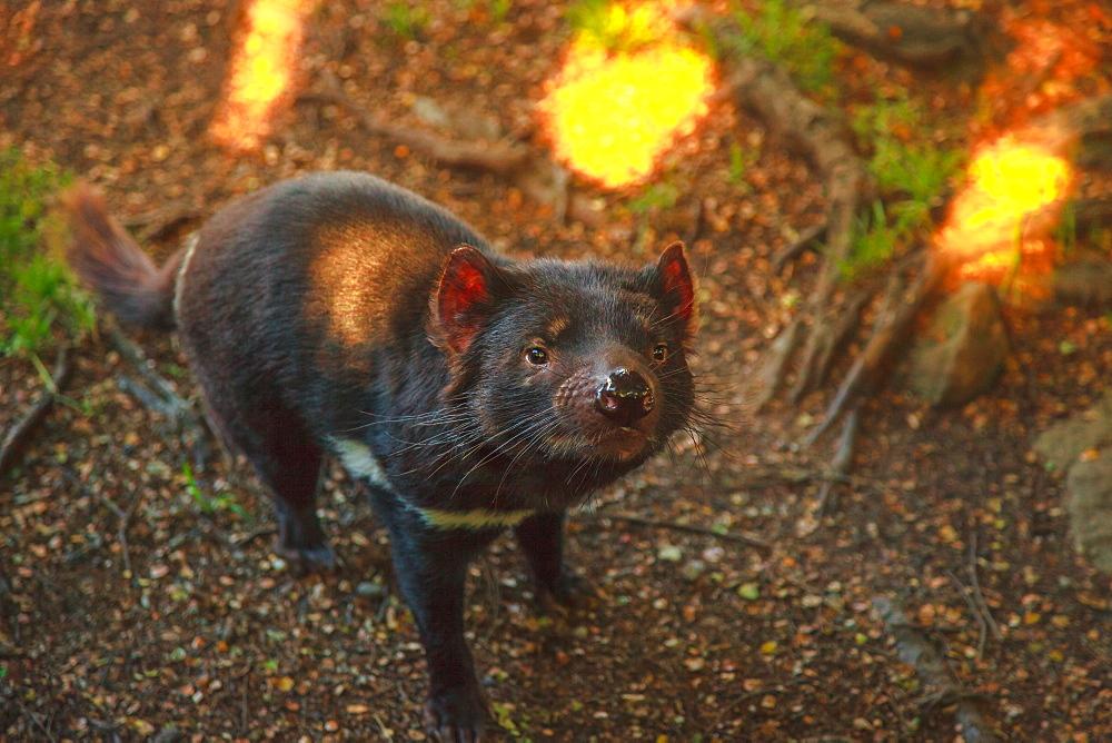 Tasmanian devil, Sarcophilus harrisii, standing. The devil is a Tasmanian icon. Trowunna Wildlife Sanctuary, Tasmania, Australia. When the marsupial doesn't eat, it looks very peaceful.