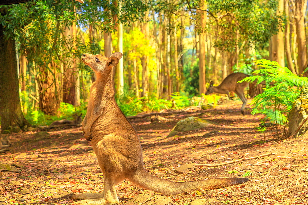 Side view of kangaroo standing upright in Tasmanian forests of Australia. Australian marsupial animal outdoor.