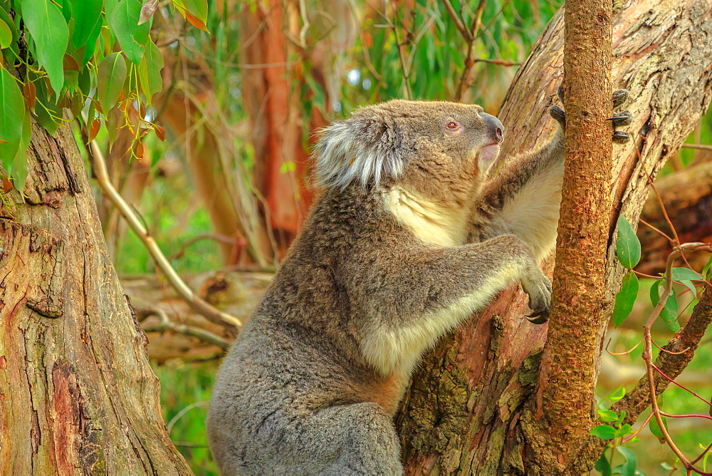 Koala bear on eucalyptus trunk at Phillip Island, near Melbourne in Victoria, Australia, Pacific