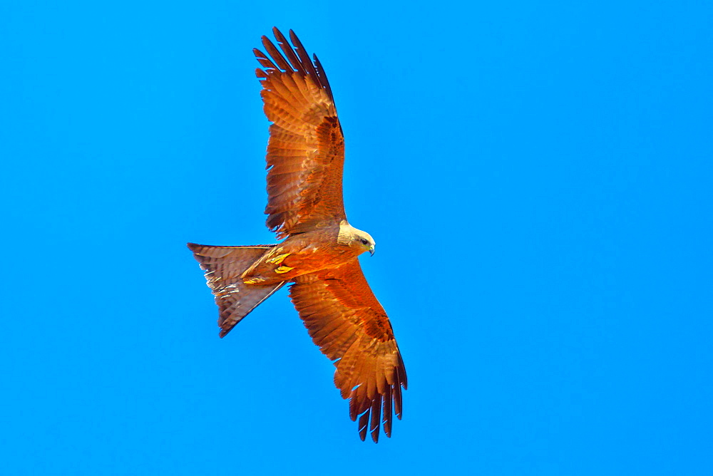 The whistling kite (Haliastur sphenurus) with gingery-brown feathers flies against the blue sky, Desert Park at Alice Springs near MacDonnell Ranges, Northern Territory, Australia, Pacific