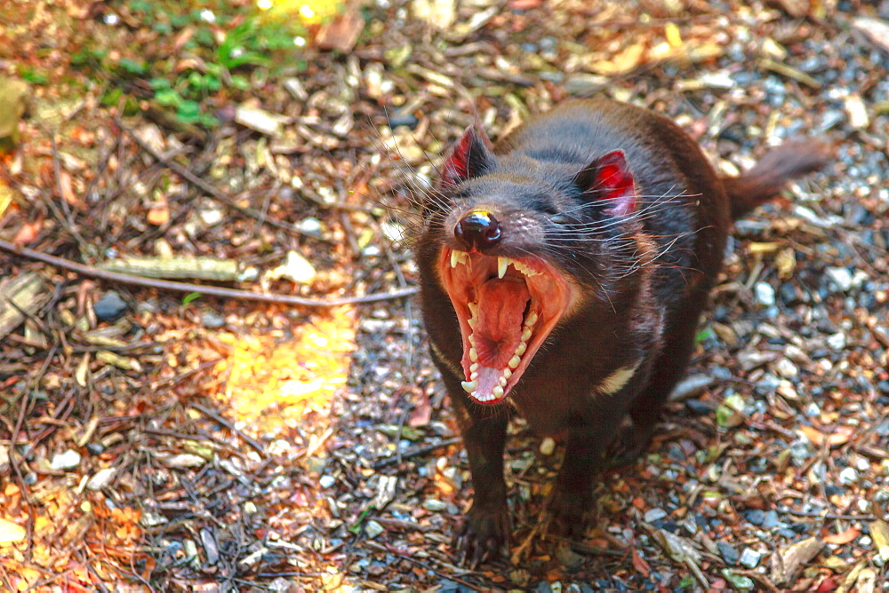 The shrill scream of Tasmanian devil (Sarcophilus harrisii), Tasmanian icon in Trowunna Wildlife Sanctuary, Tasmania, Australia, Pacific - 1314-201