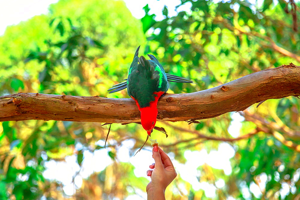 Hand of woman feeding an Australian King-Parrot (Alisterus scapularis), on a tree branch in a wilderness, Pebbly Beach, Murramarang National Park, New South Wales, Australia, Pacific - 1314-211