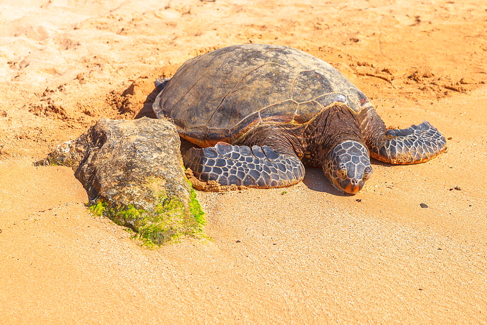Hawaiian Sea Turtle (Green Sea Turtl) rests on the golden sand in Laniakea Turtle Beach on Oahu island, Hawaii, United States of America, Pacific, North America