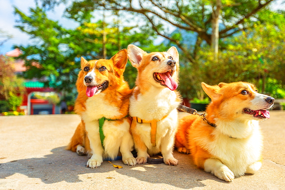 Three happy Welsh Corgi Pembroke dogs with sticking out tongues, China, Asia