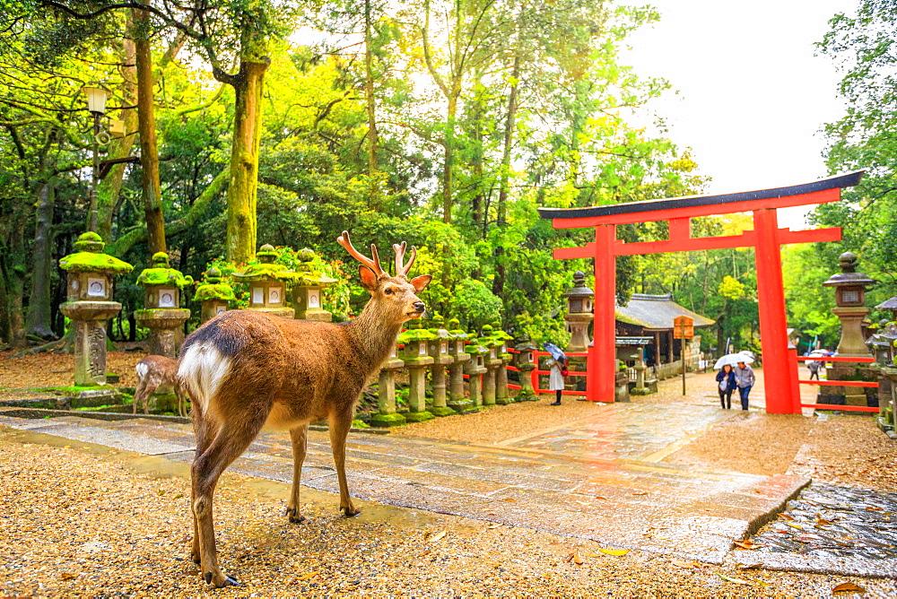 Wild deer and red Torii gate of Kasuga Taisha Shine, one of the most popular temples, Nara Park, Nara, Japan, Asia