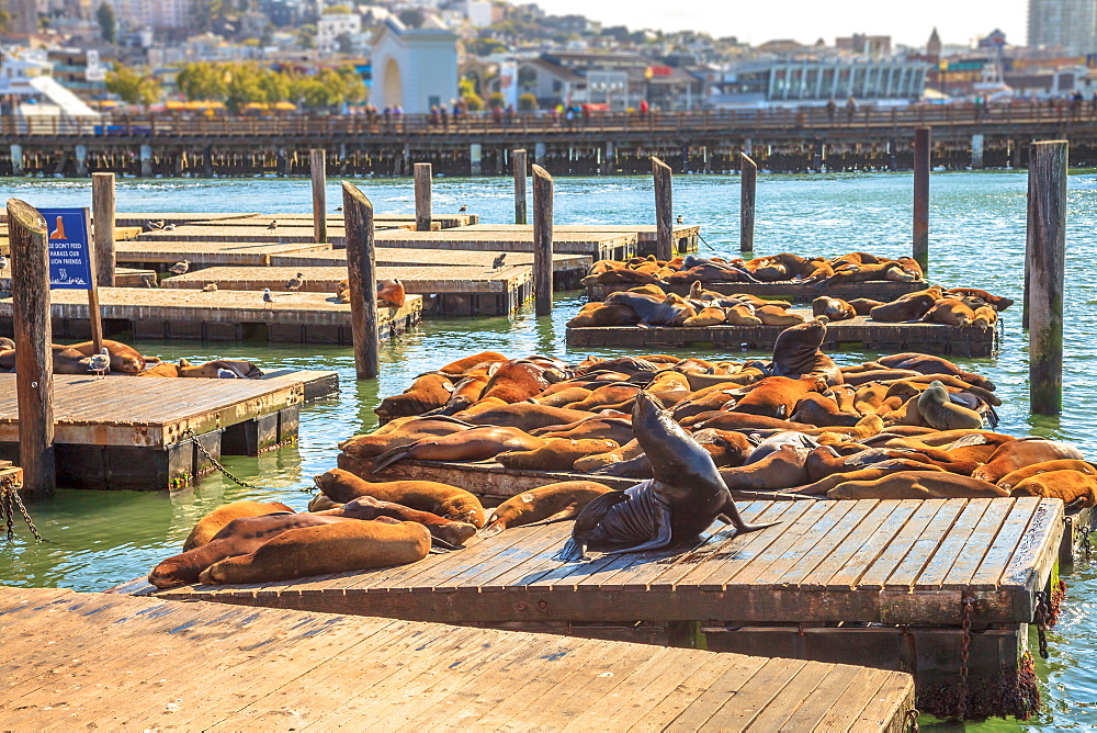 Sea lions resting on Pier 39, San Francisco, California, United States of America, North America