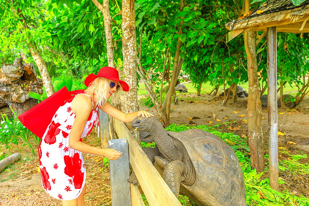 Elegant caucasian blonde female with sunhat feeding a male of Aldabra Giant Tortoise, Aldabrachelys gigantea, a tortoise native to Aldabra atoll. Praslin in Seychelles, archipelago of Indian Ocean