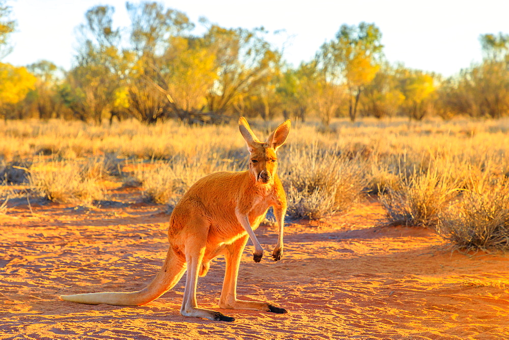 Side view of red kangaroo (Macropus rufus) standing on the red sand of Outback central Australia, at sunset, Red Center, Northern Territory, Australia, Pacific