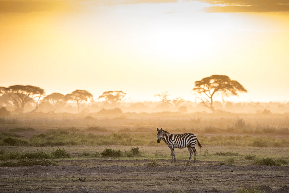 Zebras at sunset in Amboseli National Park, Kenya, East Africa, Africa