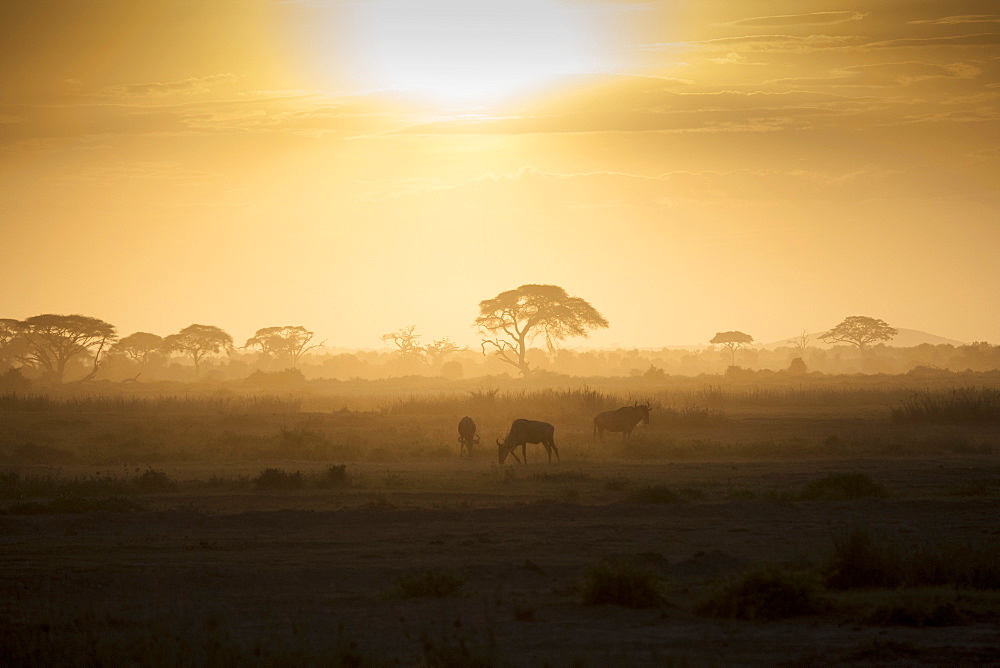 Wildebeests at sunset in Amboseli National Park, Kenya, East Africa, Africa