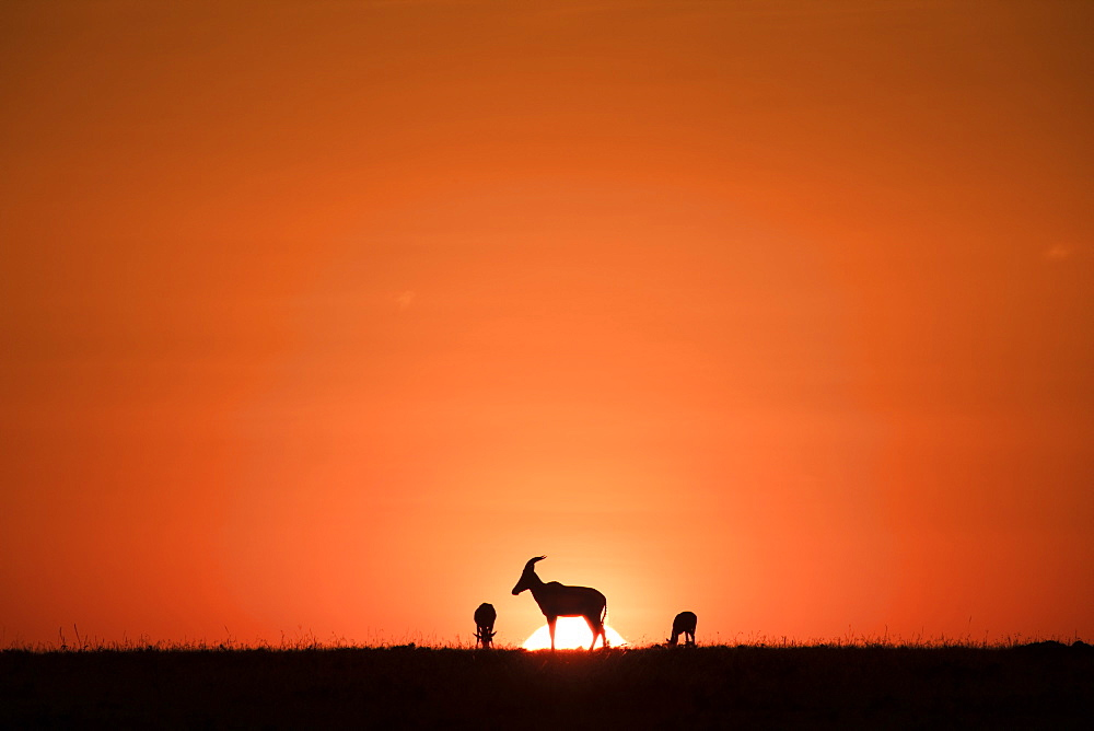 Topis (medium-sized antelopes) in front of the rising sun. Maasai Mara, Kenya