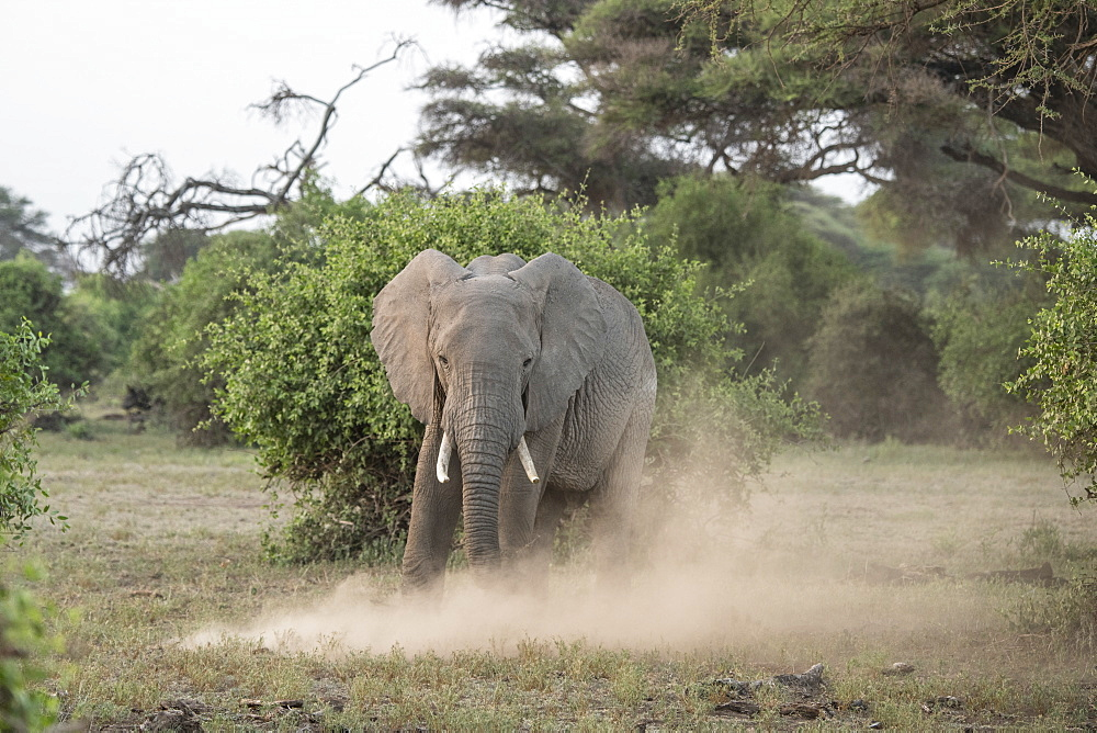 Elephant kicking up dust in Amboseli National Park, Kenya, afternoon. Guides say the dirt protects against sun and insects.