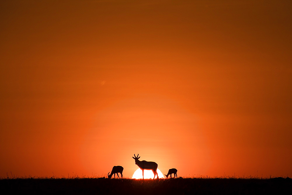 Topis (medium-sized antelope) in front of the rising sun. Maasai Mara, Kenya