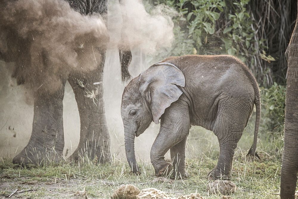 Baby elephant in a cloud of dust sprayed by its mother. Dust protects against sun and insects. Amboseli National Park, Kenya