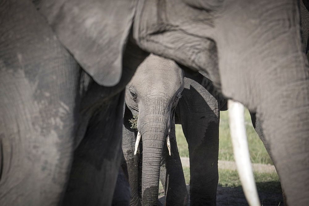 Baby elephant framed by its mother, Maasai Mara, Kenya, East Africa, Africa