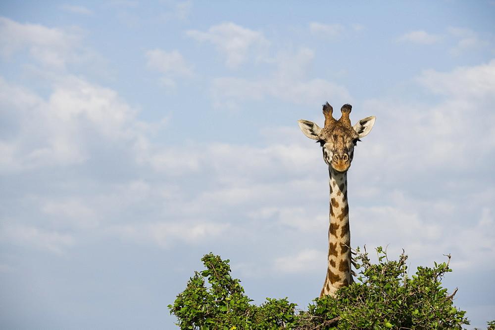 Giraffe ???hiding??? behind a tree on the Maasai Mara, Kenya