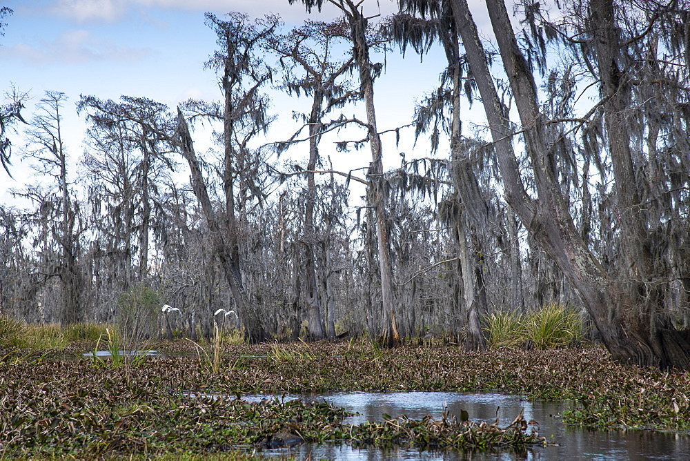 Wide angle shot of Manchac Swamp near New Orleans, Louisiana, United States of America, North America - 1315-213