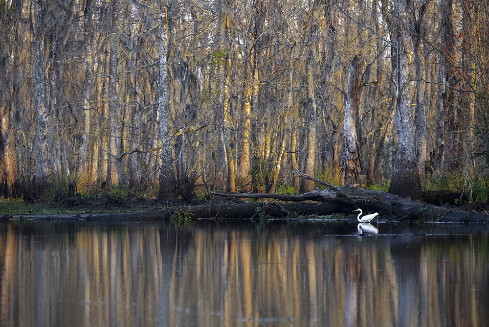 Great egret in the Manchac Swamp near New Orleans, Louisiana, United States of America, North America