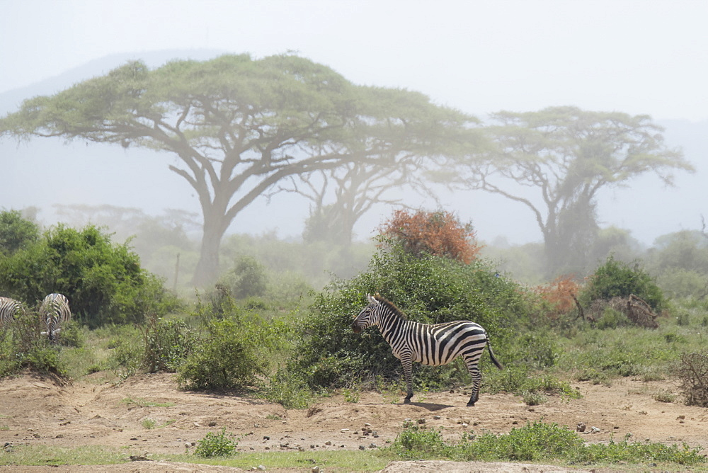 Zebra under an Acacia tree in dusty Amboseli National Park, Kenya, East Africa, Africa