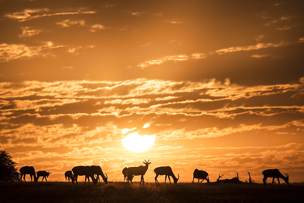 Topis at sunrise, Maasai Mara, Kenya, East Africa, Africa