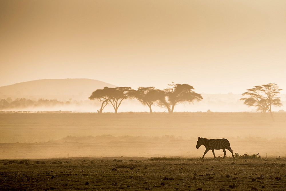 Zebras on the move at dusk across the dusty landscape of Amboseli National Park, Kenya, East Africa, Africa