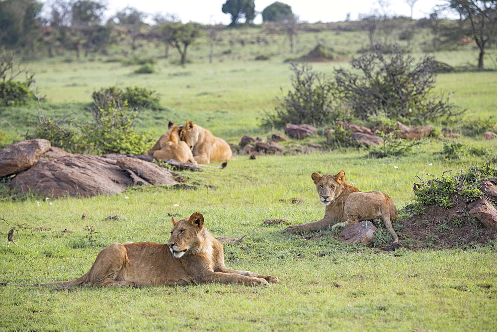 Lion pride relaxing on the Maasai Mara, Kenya, East Africa, Africa