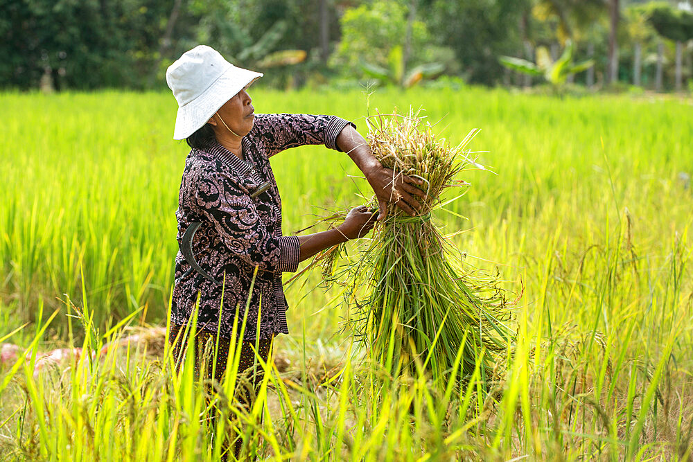 Rice harvesting in Siem Reap, Cambodia, Indochina, Southeast Asia, Asia - 1315-315