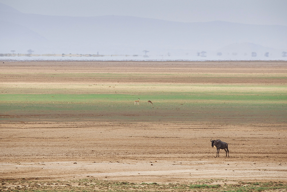 Wildebeest on the stripes of a salt flat in Amboseli National Park, Kenya, East Africa, Africa