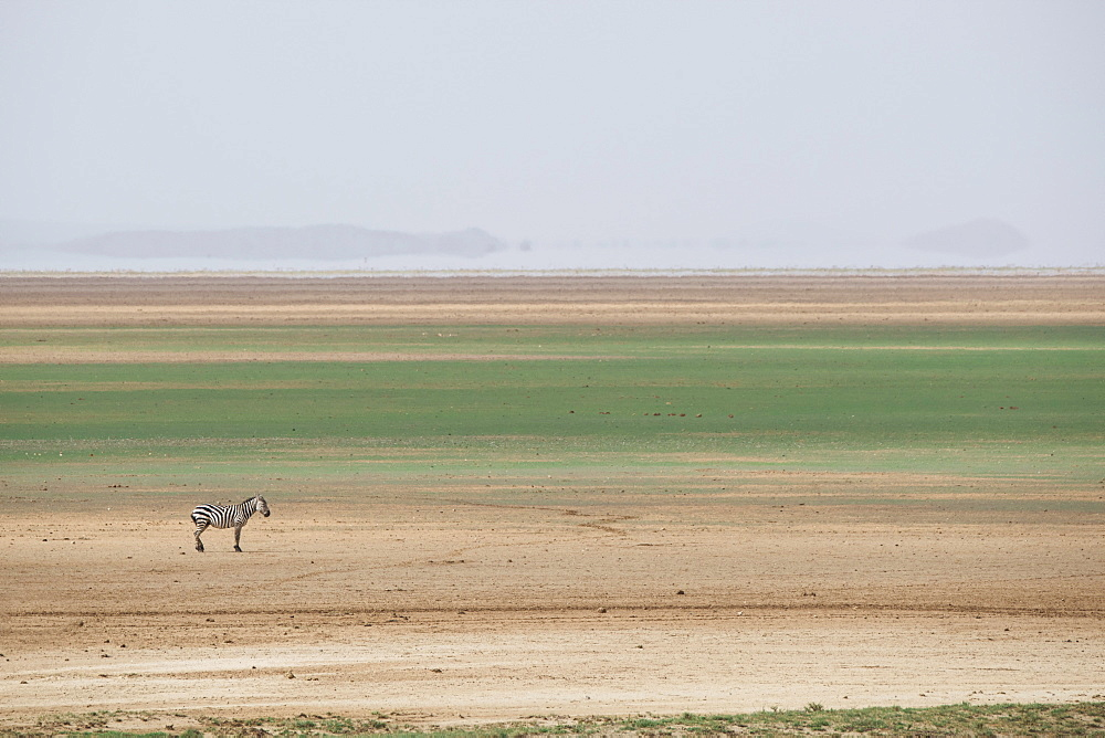 Zebra on the stripes of a salt flat in Amboseli National Park, Kenya.