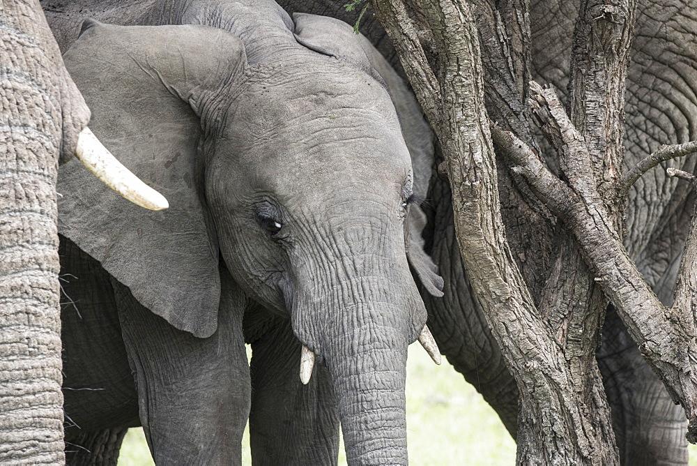 Young elephant, Maasai Mara, Kenya, East Africa, Africa