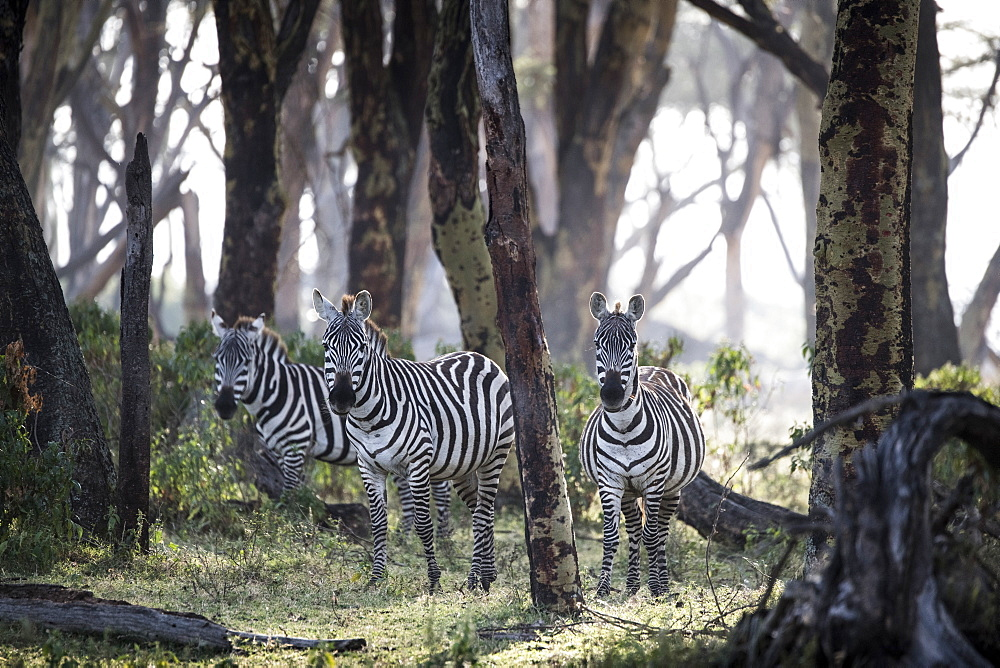 Zebras in early morning. Crescent Island Game Sanctuary, Lake Naivasha, Great Rift Valley, Kenya, East Africa, Africa