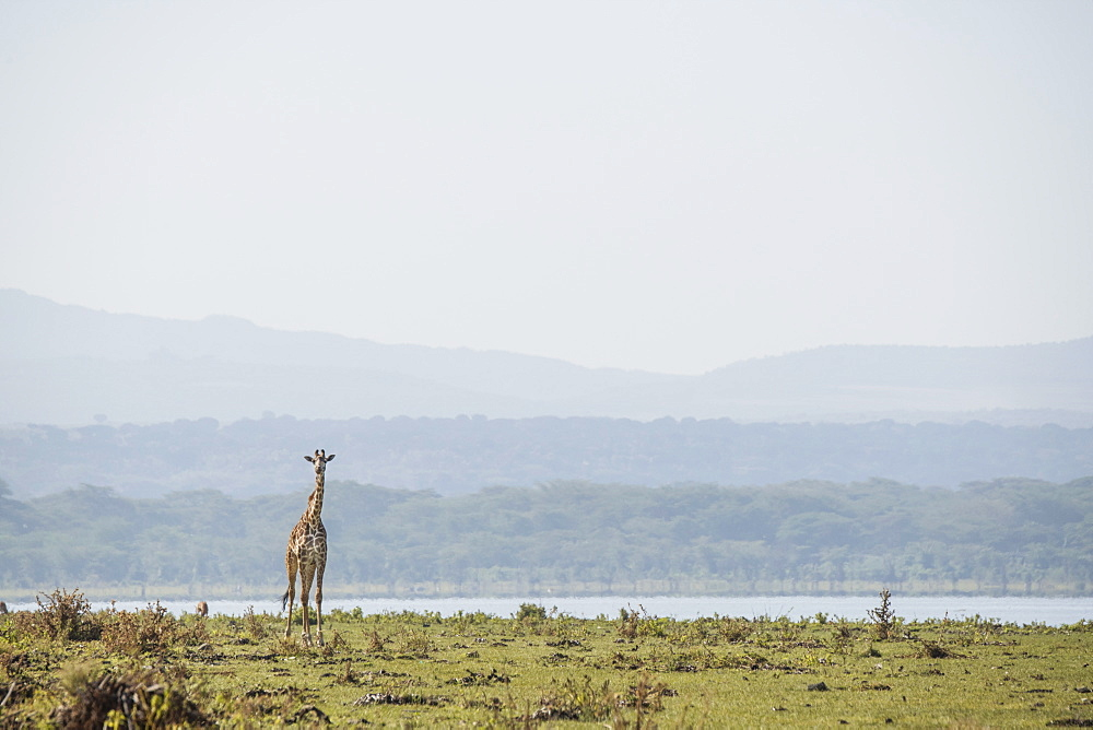 Giraffe in early morning. Crescent Island Game Sanctuary, Lake Naivasha, Great Rift Valley, Kenya, East Africa, Africa