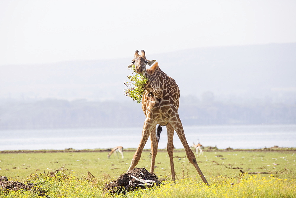 Giraffe munching leaves in the early morning. Crescent Island Game Sanctuary, Lake Naivasha, Kenya, in the Great Rift Valley
