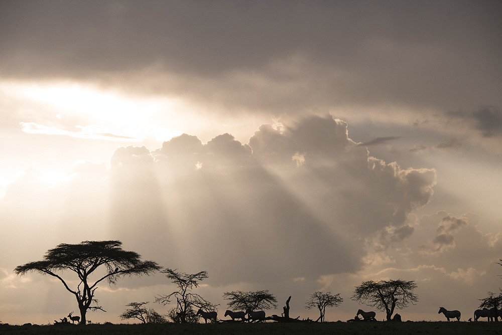 Animals (impala and zebras) on a ridge during a storm at sunset in the Maasai Mara National Reserve, Kenya