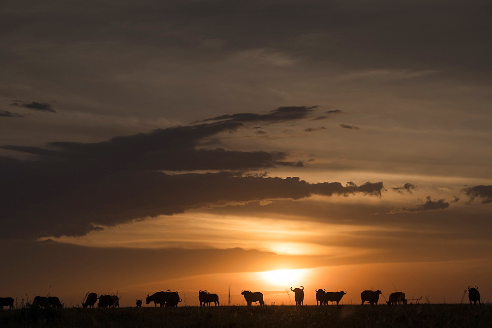Cape buffalo at sunset on the Maasai Mara, Kenya, East Africa, Africa - 1315-47