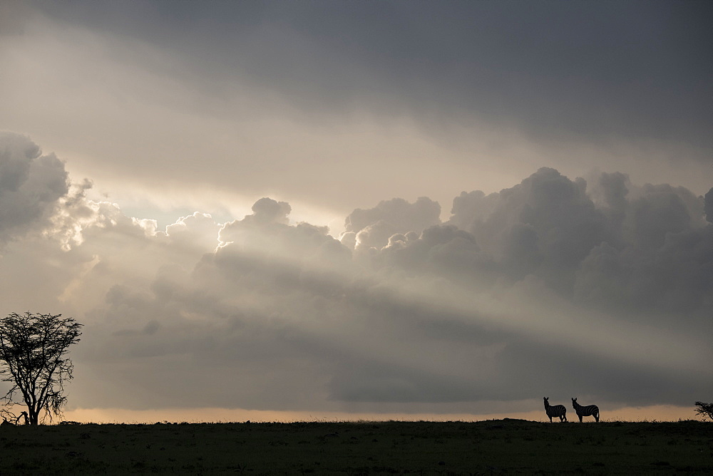 Zebras in silhouette on a ridge during a storm at sunset in the Maasai Mara National Reserve, Kenya