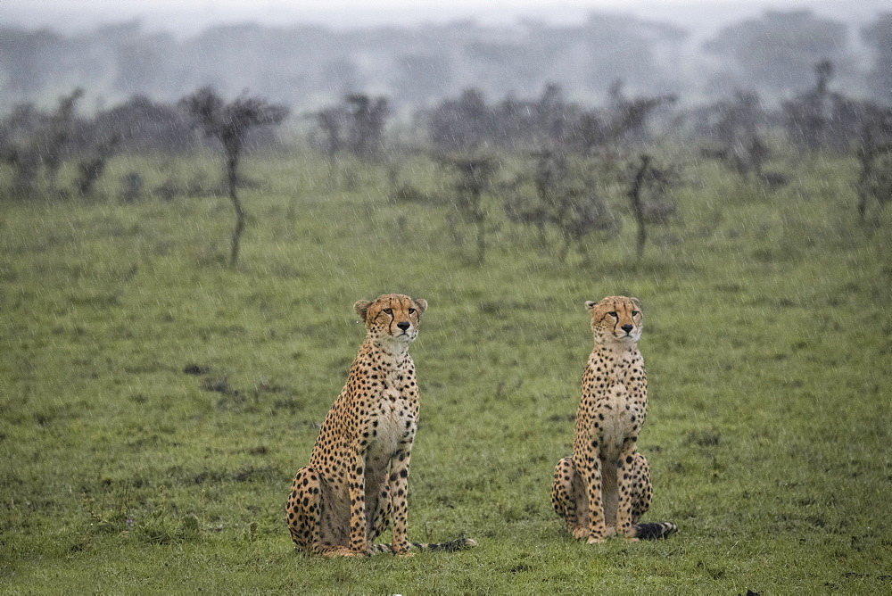 Two cheetahs sitting in the rain before a hunt in the Maasai Mara National Reserve, Kenya, East Africa, Africa