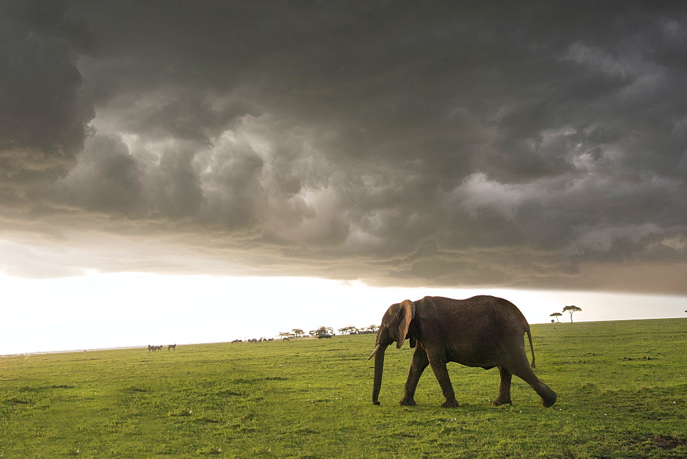 Elephant in a thunderstorm on the Maasai Mara, Kenya, East Africa, Africa