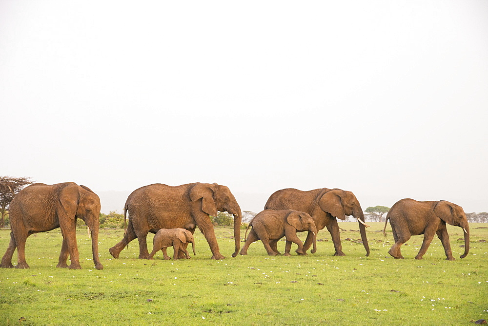 Herd of elephants on the move, Maasai Mara, Kenya, East Africa, Africa