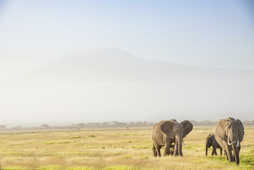 Elephants in front of Mount Kilimanjaro, shrouded in morning mist, Amboseli National Park, Kenya, East Africa, Africa