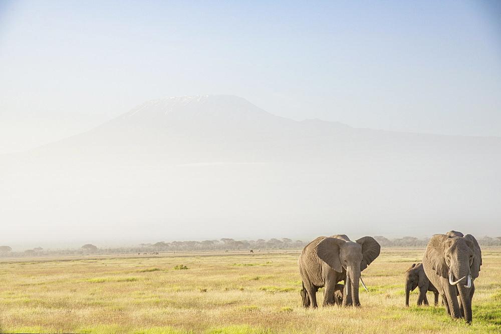 Elephants in front of Mount Kilimanjaro, shrouded in morning mist, Amboseli National Park, Kenya.