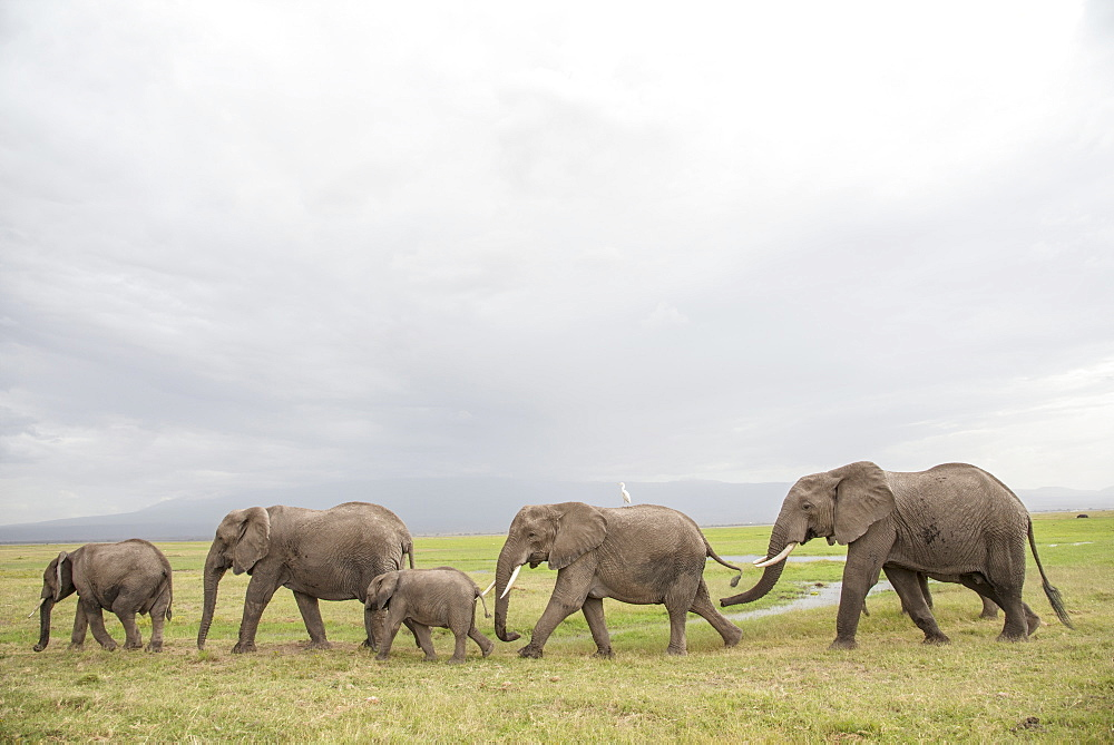 Elephants on the move in Amboseli National Park, Kenya, East Africa, Africa
