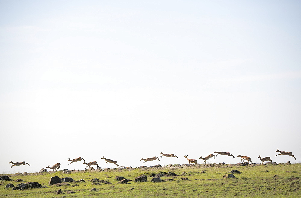 Gazelles bounding along a ridge on the African savannah. Maasai Mara, Kenya.