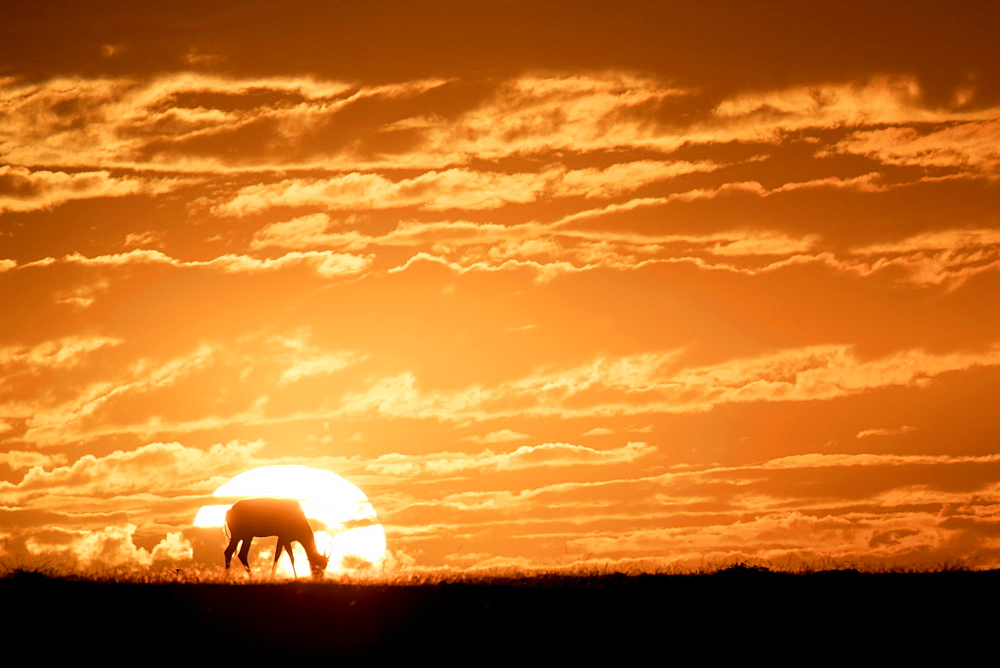 Topi at sunrise, Maasai Mara, Kenya, East Africa, Africa
